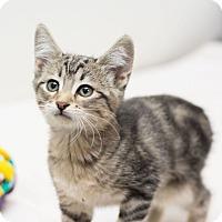 Adopt A Pet :: Lancelot II - Fountain Hills, AZ