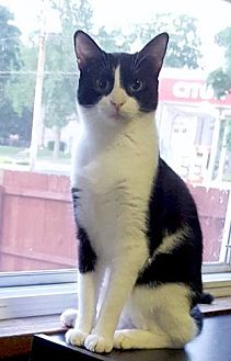 Domestic Shorthair Kitten for adoption in Whitewater, Wisconsin - Sally