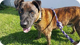 Mountain Cur/Belgian Malinois Mix Dog for adoption in Woodland Hills, California - ***Arizona Joe***