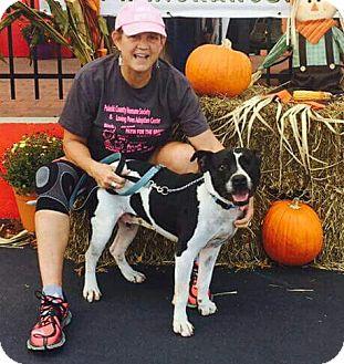 Staffordshire Bull Terrier/American Pit Bull Terrier Mix Dog for adoption in Crocker, Missouri - Jones