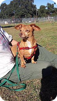 Dachshund Mix Dog for adoption in Marble Falls, Texas - Gemma
