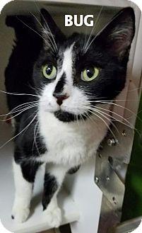 Domestic Shorthair Cat for adoption in Lapeer, Michigan - Bug