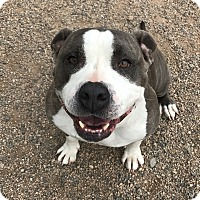 Adopt A Pet :: Amelia - Chino Valley, AZ