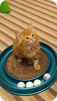 Domestic Longhair Kitten for adoption in Woodstock, Ontario - Darla