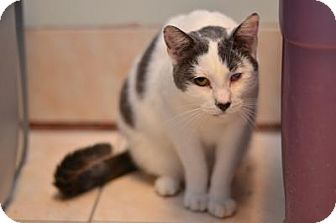 Domestic Shorthair Cat for adoption in Queens, New York - Violet