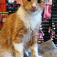 Domestic Mediumhair Kitten for adoption in San Ramon, California - Mineo