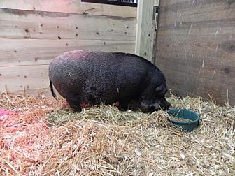Pig (Potbellied) for adoption in Woodstock, Illinois - Kevin Bacon
