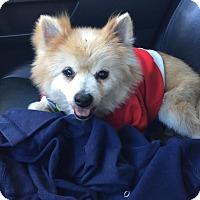 Adopt A Pet :: Peluche - Homestead, FL