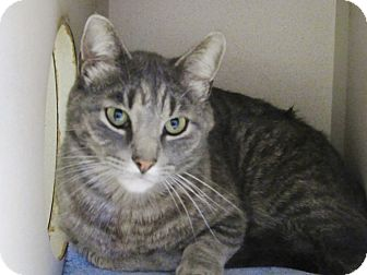 Domestic Shorthair Cat for adoption in Grinnell, Iowa - TJ