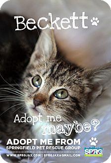 Domestic Shorthair Kitten for adoption in Jacksonville, Florida - Beckett
