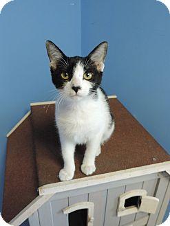 Domestic Shorthair Cat for adoption in Brookings, South Dakota - Hilde Palladino