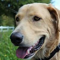 Adopt A Pet :: Tater *SEEKING DOG-SAVVY* - Kittery, ME