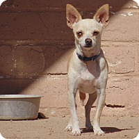 Chihuahua Mix Dog for adoption in Las Cruces, New Mexico - Lucky