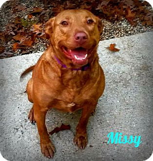 Labrador Retriever Mix Dog for adoption in Muskegon, Michigan - Missy