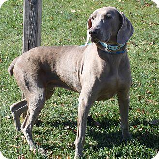 Weimaraner Dog for adoption in Staunton, Virginia - Sir William
