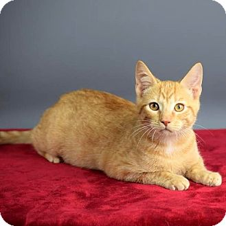 Domestic Shorthair Kitten for adoption in Columbia, Illinois - Garfield