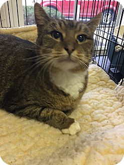 Domestic Shorthair Cat for adoption in Danville, Indiana - Jazzy