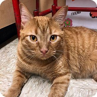 Domestic Shorthair Cat for adoption in Arlington/Ft Worth, Texas - Matt