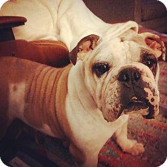 English Bulldog Dog for adoption in Park Ridge, Illinois - Dame Judi Dench