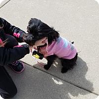 Adopt A Pet :: Cindy Bear - Hainesville, IL