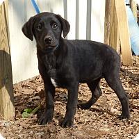 Adopt A Pet :: Java - Newburgh, NY