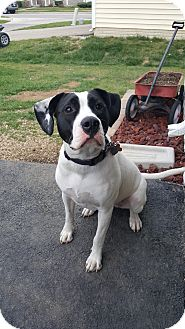 Foxhound/Boxer Mix Dog for adoption in Columbus, Ohio - Izzy