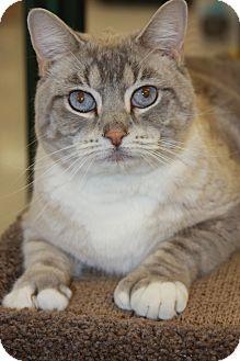 Siamese Cat for adoption in Phoenix, Arizona - Frankie the Polydactyl