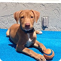 Adopt A Pet :: Maya - Hollywood, FL