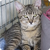 Domestic Shorthair Cat for adoption in Lighthouse Point, Florida - Samson