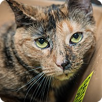 Adopt A Pet :: Tootsie - New York, NY