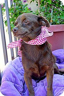 Chihuahua Mix Dog for adoption in San Diego, California - Canelita