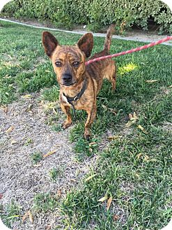 Chihuahua/French Bulldog Mix Dog for adoption in Bakersfield, California - Gimbley