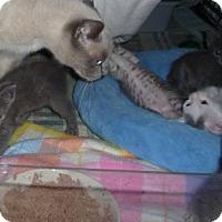 Adopt A Pet :: Russian Blue mix kittens - Dallas, TX