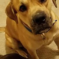 Boxer/Labrador Retriever Mix Dog for adoption in Alpharetta, Georgia - Zeuser
