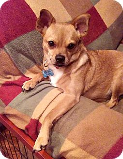 Chihuahua/Pug Mix Dog for adoption in Mount Ida, Arkansas - Sonny