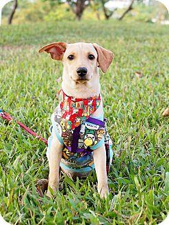 Labrador Retriever Mix Puppy for adoption in San Mateo, California - Darcy
