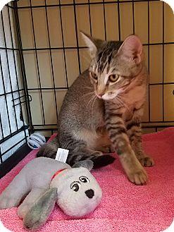 Domestic Shorthair Kitten for adoption in Houston, Texas - Bree