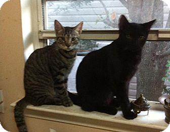 American Shorthair Kitten for adoption in Jacksonville, Florida - Johnny Walker & Shirley Temple