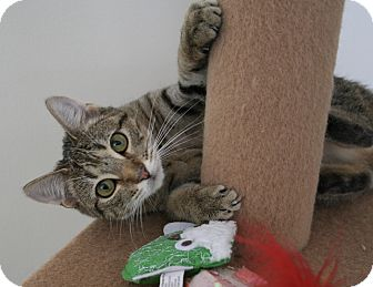 Domestic Shorthair Cat for adoption in Richmond, Virginia - Sophia