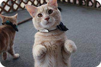 Domestic Mediumhair Kitten for adoption in Winchester, Virginia - Prince