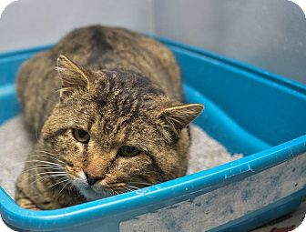 Domestic Shorthair Cat for adoption in Pittsburg, Kansas - Isaac