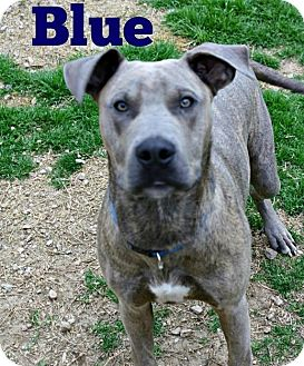 American Pit Bull Terrier/Hound (Unknown Type) Mix Dog for adoption in Richland Hills, Texas - Blue