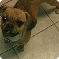 Adopt A Pet :: Rosemary - cute puggle! - Phoenix, AZ