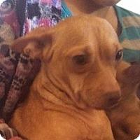 Adopt A Pet :: Lil Mama - Seattle, WA