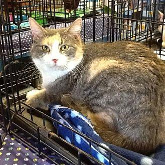 Domestic Shorthair Cat for adoption in Houston, Texas - Celeste