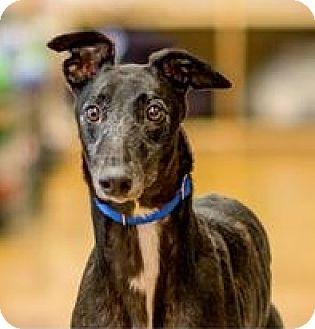 Greyhound Mix Dog for adoption in Aurora, Indiana - Andy