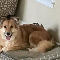 Collie/Golden Retriever Mix Dog for adoption in Atlanta, Georgia - Cricket