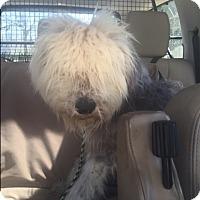 Adopt A Pet :: Braxton - Norwalk, CT