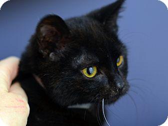American Shorthair Kitten for adoption in Brooklyn, New York - Lance