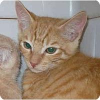 Adopt A Pet :: Cheetos - Colmar, PA